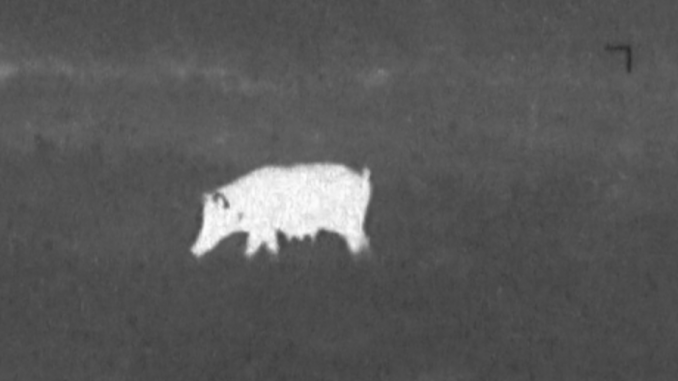 A common use for thermal vision devices is the hunting of nuisance animals such as feral hogs